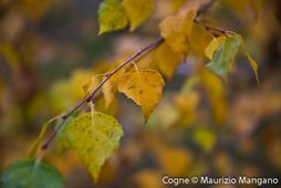 Autumn leaves - Cogne